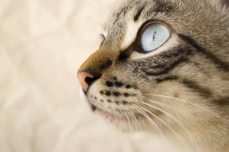 tumore tiroide gatto